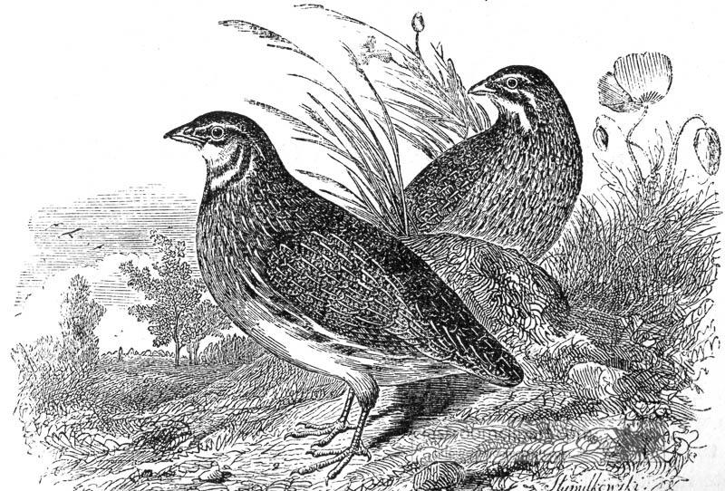 two-partridge-birds-illustration.jpg