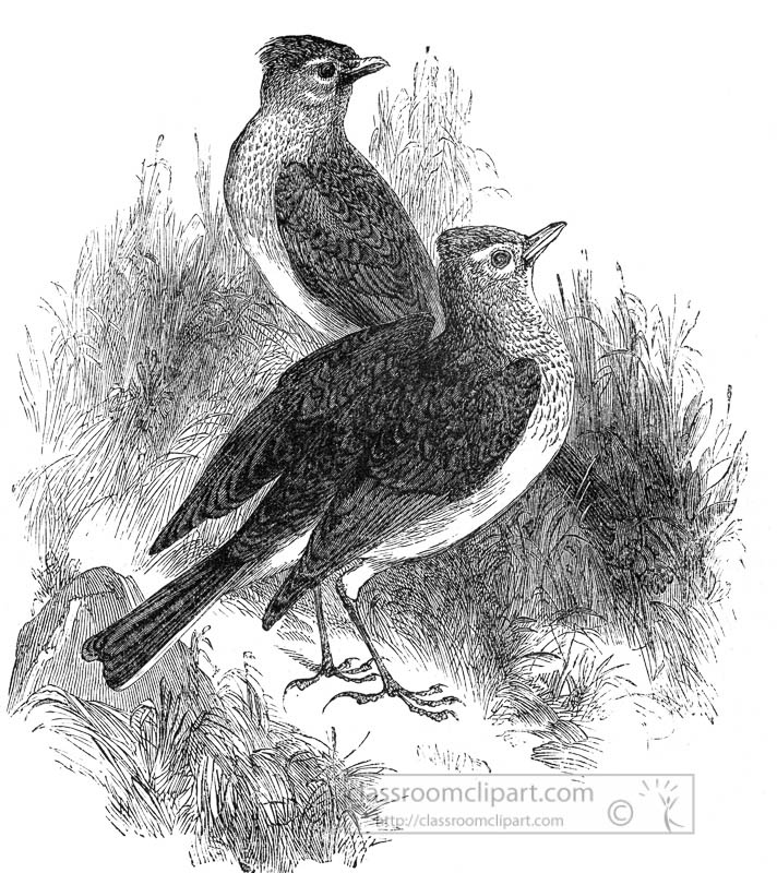 two-sky-lark-bird-illustration.jpg