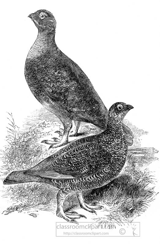 two-views-of-grouse-birds-illustration.jpg