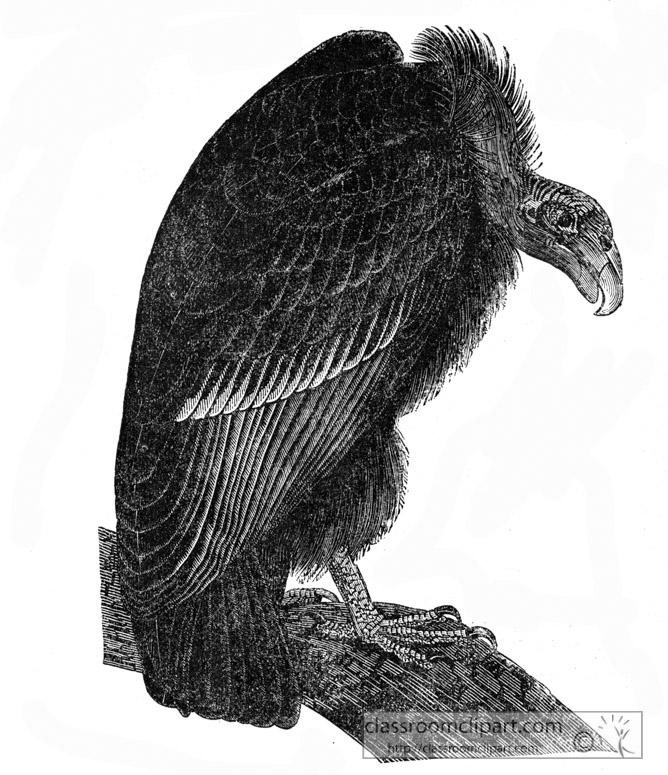 vulture-bird-illustration-13.jpg