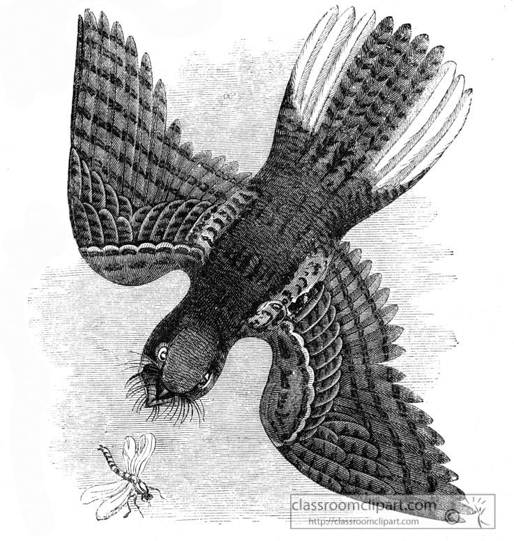 whippoorwill-bird-illustration.jpg