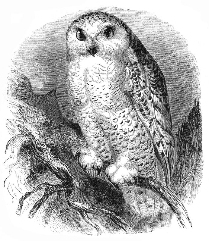69_white_owl.jpg