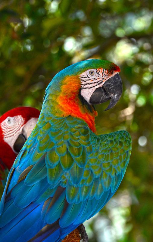 blue_macaw_817B.jpg