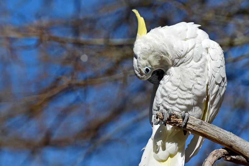 cockatoo-blue-sky-bakcground-pic-image-5181A.jpg
