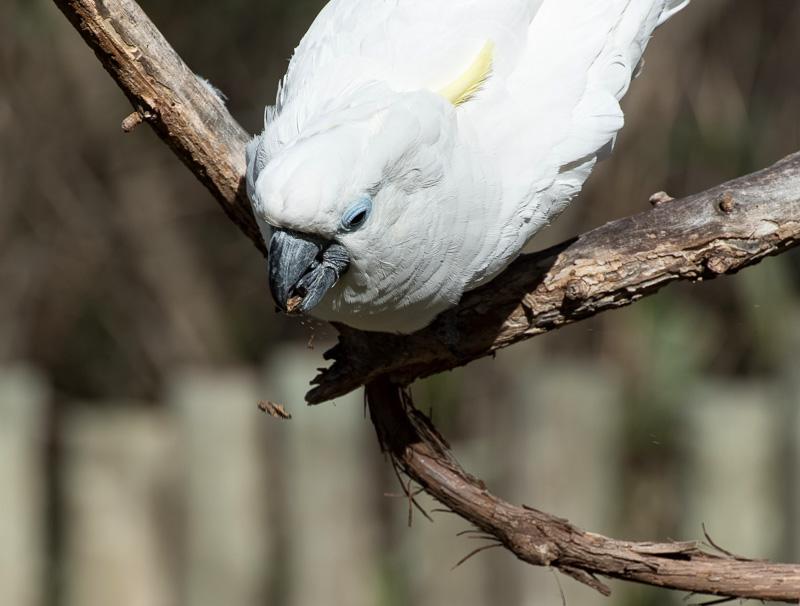 cockatoo-food-drops-from-beak-pic-image-5204.jpg