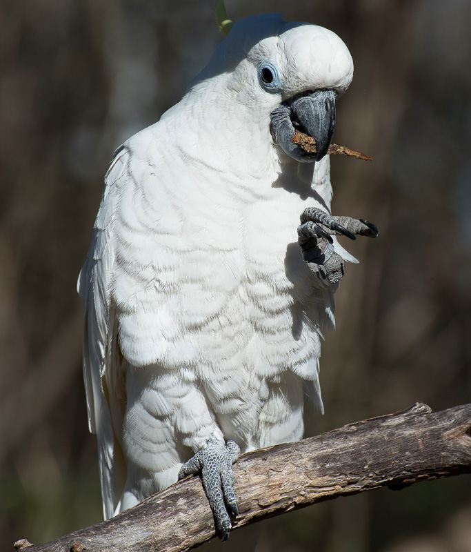 cockatoo-large-claws-pic-image-5193.jpg