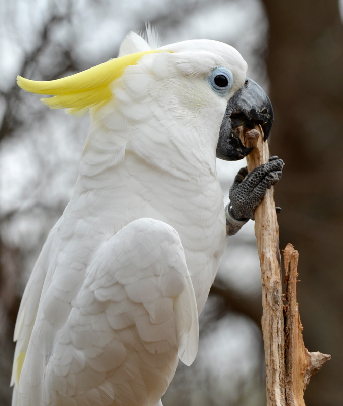 cockatoo-parrot-photo-3765A.jpg