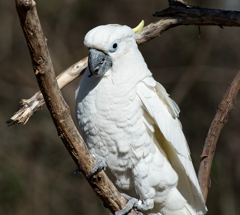 cockatoo-pic-image-5206.jpg