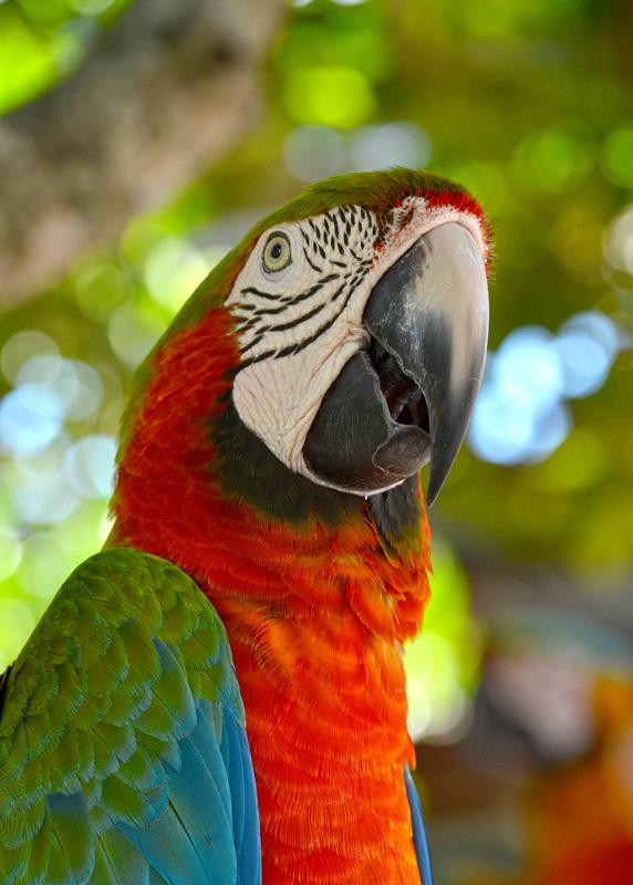 red_macaw_27B.jpg