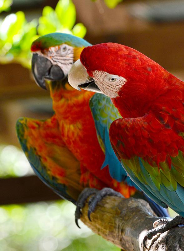 red_macaw_28AB.jpg