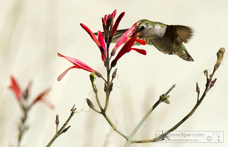 hummingbird_closeup_745a.jpg