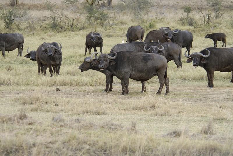 4_buffalo_3.jpg