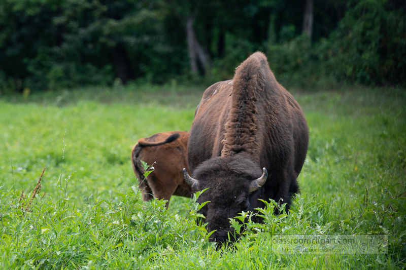 group-of-american-bison-eating-grass-photo-8508670.jpg