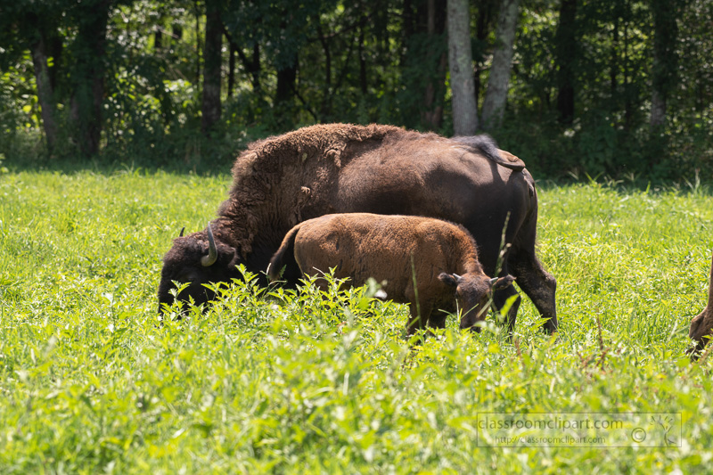 group-of-american-bison-eating-grass-photo-8508694.jpg
