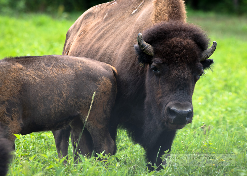 group-of-american-bison-eating-grass-photo-8508707.jpg