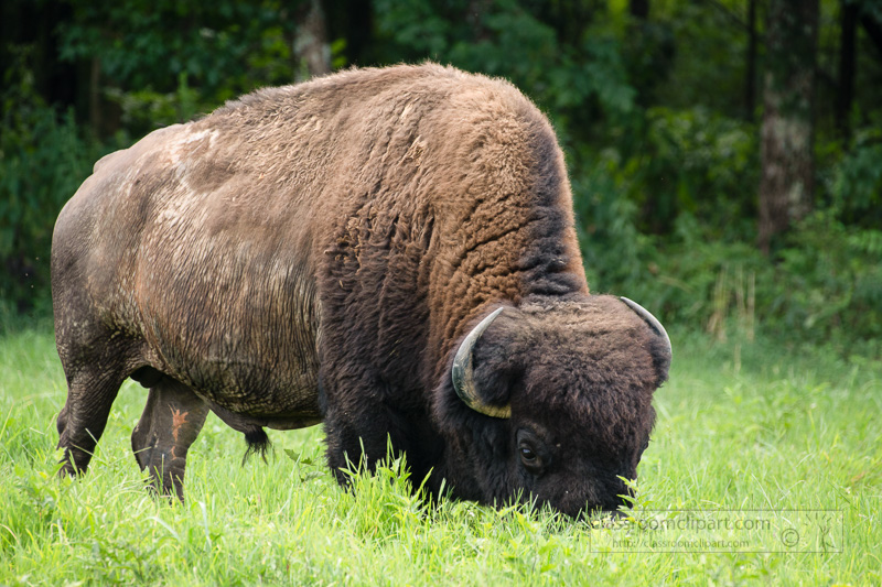group-of-american-bison-eating-grass-photo-8508712-2.jpg