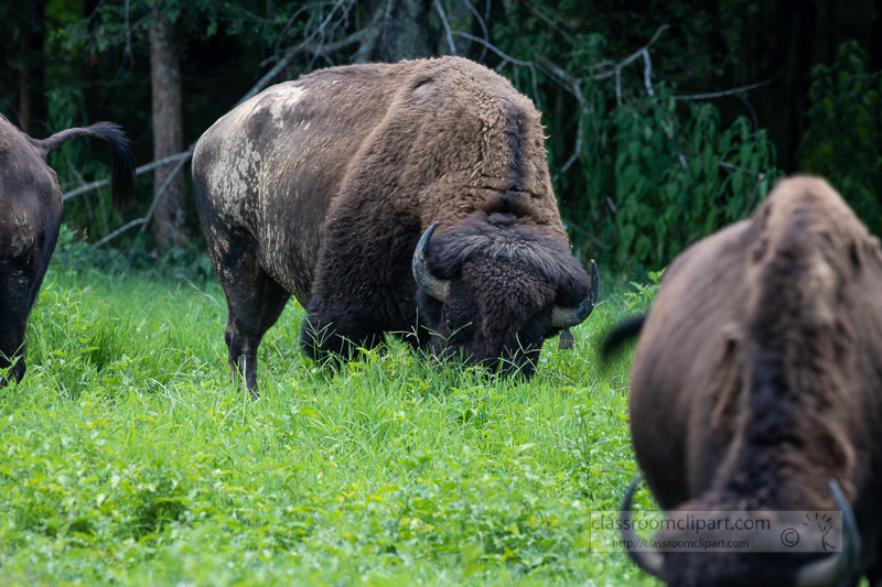group-of-american-bison-eating-grass-photo-8508718.jpg