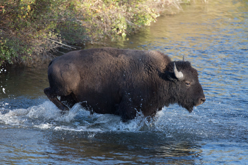 photo-photo-bison-crosses-mission-creek.jpg