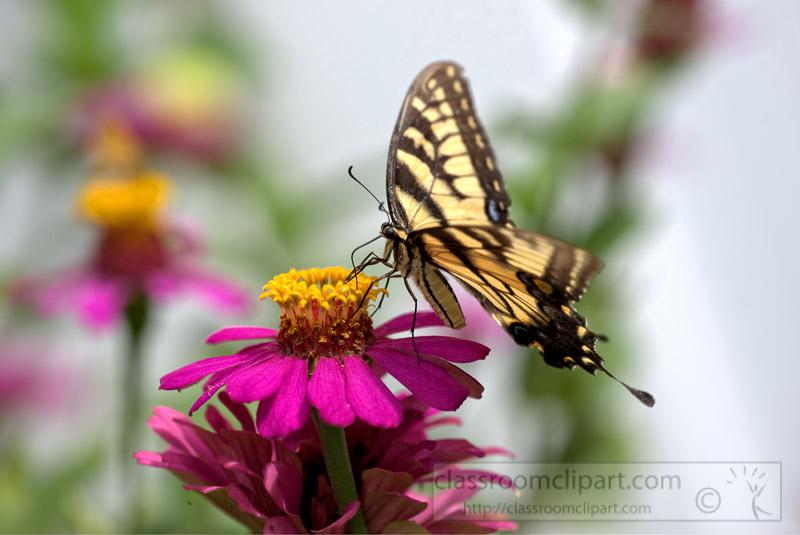 Eastern-Tiger-Swallow-Butterfly-Photo-0481.jpg