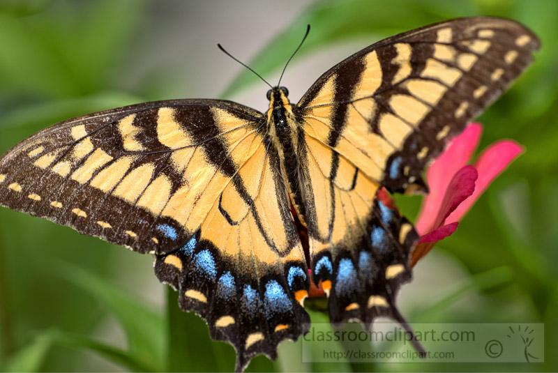 Eastern-Tiger-Swallow-Butterfly-Photo-0491.jpg