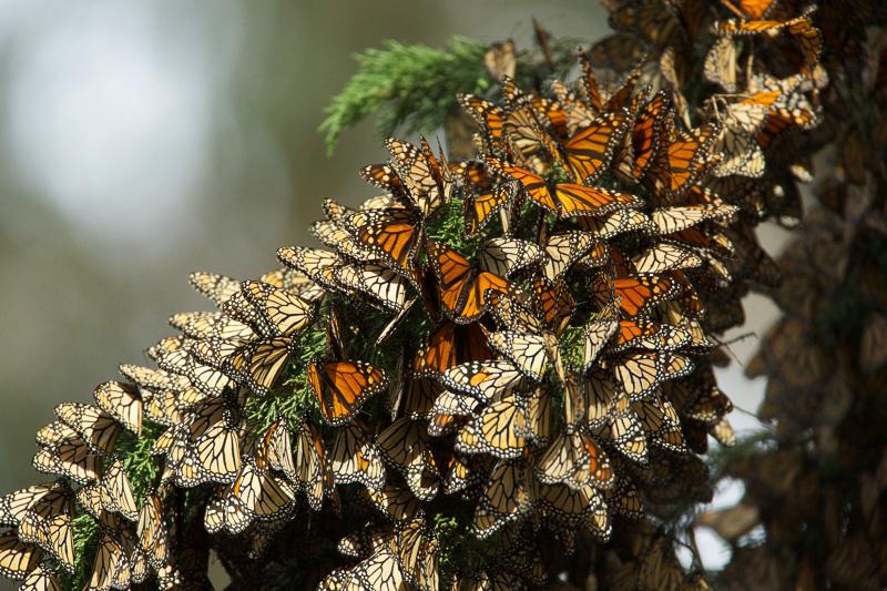 butterflies-cluster-in-the-limbs-of-eucalyptus-trees-2.jpg