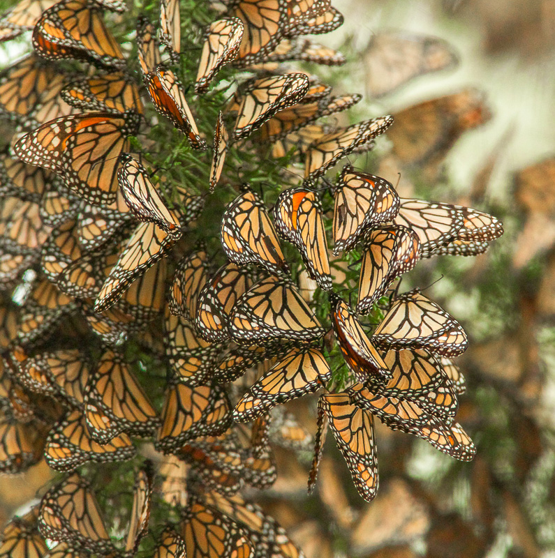 butterflies-cluster-in-the-limbs-of-eucalyptus-trees-pismo-beach-california-2.jpg