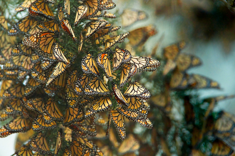 butterflies-cluster-in-the-limbs-of-eucalyptus-trees-pismo-beach-california.jpg