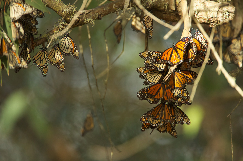 butterflies-hanging-from-limbs-of--eucalyptus-trees.jpg