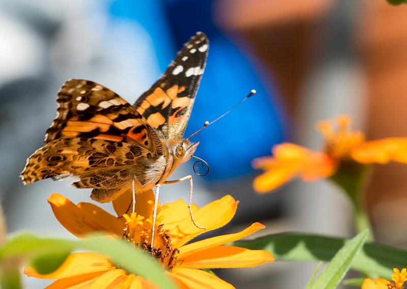 butterfly-side-view-proboscis-photo-0825.jpg