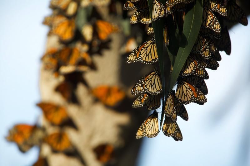 clusters-of-monarch-butterflies-in-pismo-beach-california.jpg