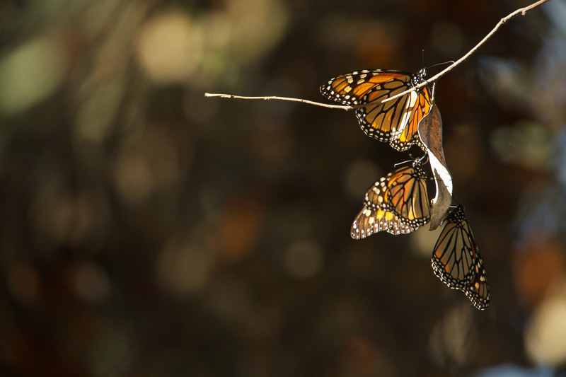 monarch-butterflies-on-tree-branch.jpg