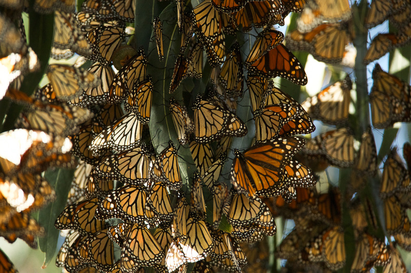 monarch-butterfly-on-trees-in-pismo-beach-california.jpg