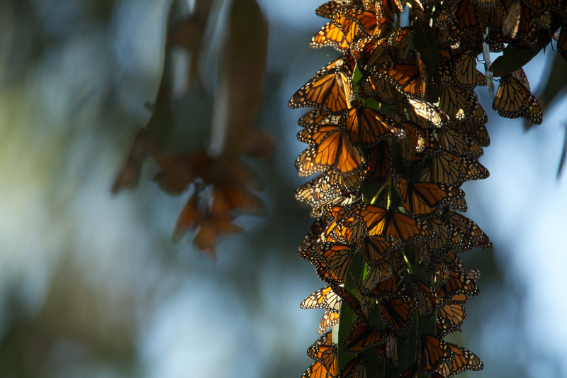 monarch-butterfly-population-overwintering-in-pismo-beach-california.jpg