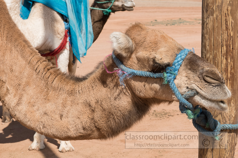 Camel-tied-to-Pole-Morocco-7649.jpg