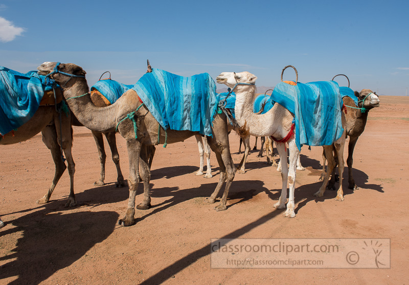 Camels-in-the-desert-Morocco-Photo-Image-643Edit.jpg