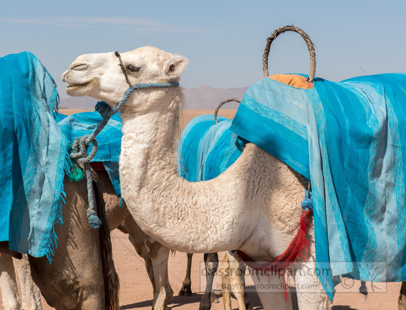 Camels-the-Sahara-Desert-Morocco-Photo-image-7639.jpg