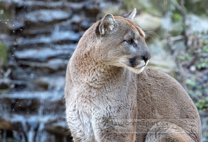 cougar-pic-image-5384.jpg