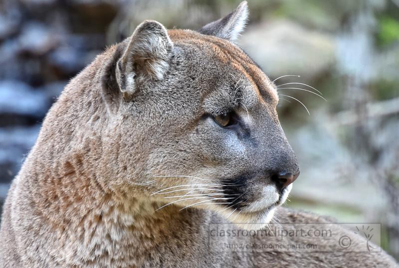 cougar-pic-sideview-closeup-image-5384c.jpg