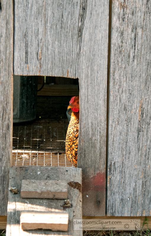 chicken-in-chicken-coop-image-100820.jpg