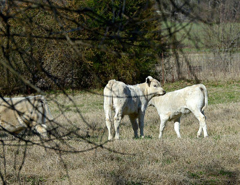 three_cows_816A.jpg