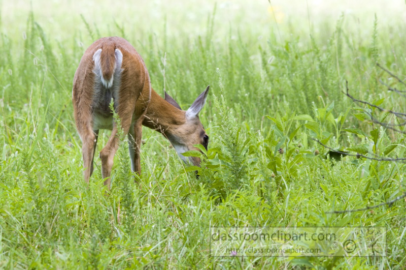 deer-cades-cove-smokey-mountains-photo_285.jpg