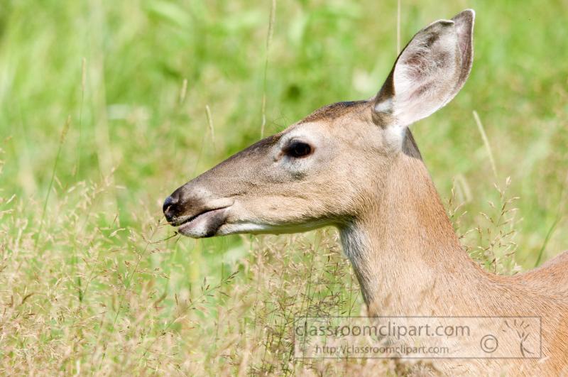 deer-cades-cove-smokey-mountains-photo_313.jpg