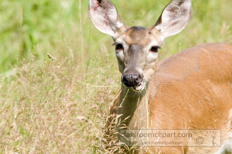 deer-cades-cove-smokey-mountains-photo_326.jpg