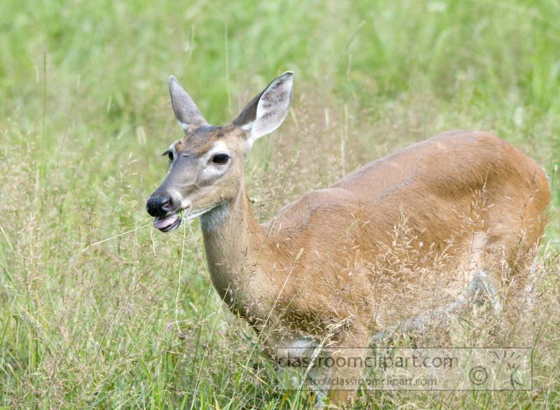 deer-cades-cove-smokey-mountains-photo_338.jpg