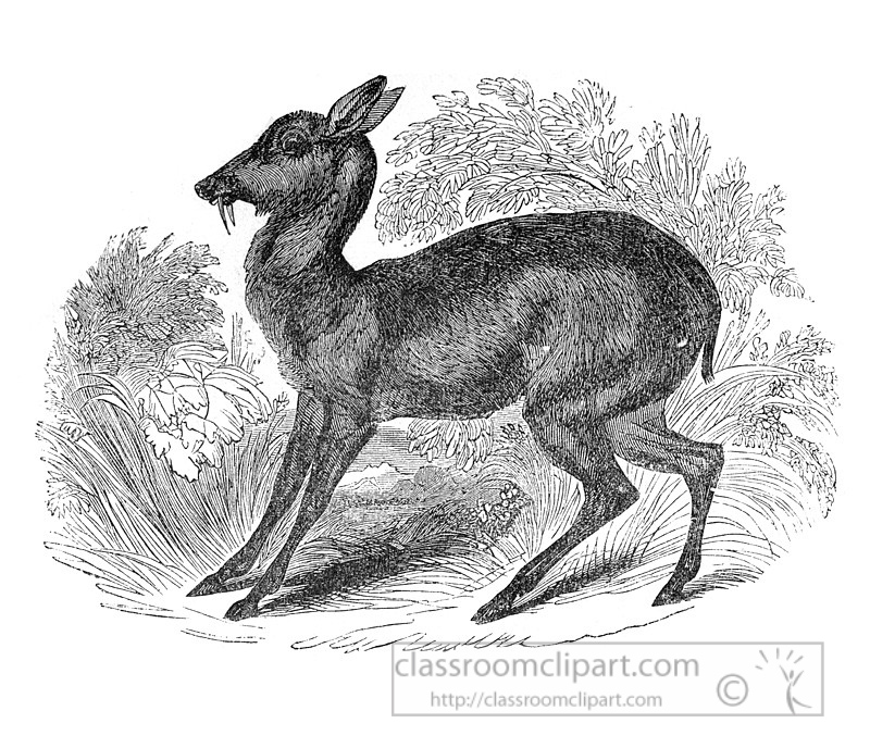 musk-deer-illustration-570-2a.jpg