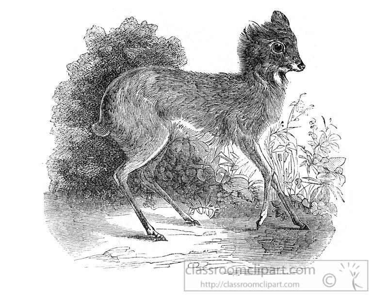 musk-deer-illustration-571-2a.jpg
