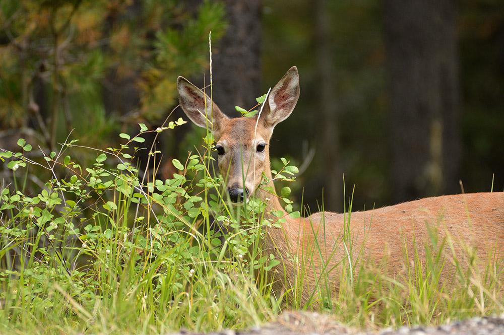 view-of-white-tailed-deer-montan.jpg