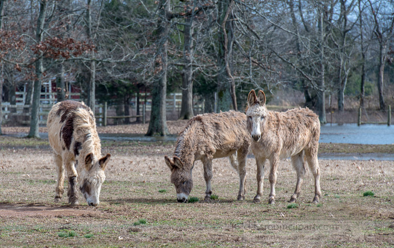 photo-of-three-donkeys-on-a-farm-with-stream-in-background-2367E.jpg