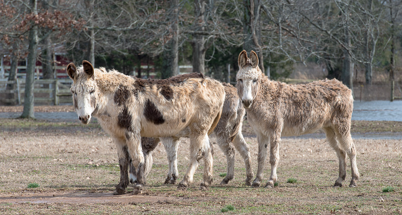 three-donkeys-on-a-farm-photo-85023.jpg