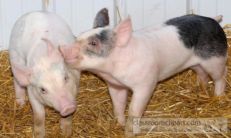 baby pigs at farm0034a.jpg